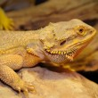 Stock Photo: Bearded dragon on wood.