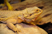 Bearded dragon on the wood. — Stock Photo