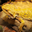 Bearded dragon on wood. — Stock Photo #9107002