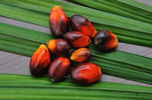 Palm Oil fruits in the Palm tree leaf background. — ストック写真