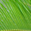 Green leaf of palm tree — Zdjęcie stockowe #9171651