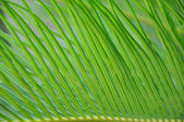 Green leaf of palm tree — Stock Photo
