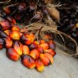 Palm Oil fruits — Stock Photo