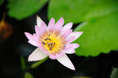 Water lily (Nymphaea alba) with bee in the pond — Stock Photo