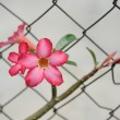 Foto Stock: Desert rose flowers
