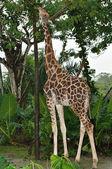 Beautiful Giraffe — ストック写真