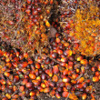 Palm Oil fruits — Stock fotografie