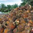 Palm Oil fruits in the Palm tree plantation background. - Stock Photo