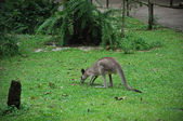 Kangaroo in Singapore Zoo — Stock Photo