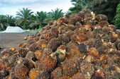 Palm Oil fruits in the Palm tree plantation background. — Stock Photo