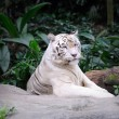 White Tiger — Stock Photo #9964699