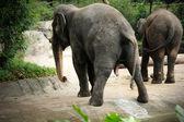 Asijské slony — Stock fotografie