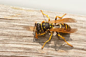 Yellow Jacket Wasp Chews Wood into Pulp — Stock Photo