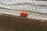 Dew Covered Ladybug on Wood — Stock Photo