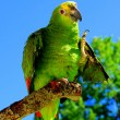 Blue-fronted amazon parrot — Stock Photo #9299840