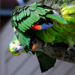 Blue-fronted amazon parrot — Stock Photo #9299842