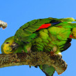 Blue-fronted amazon parrot — Stock Photo