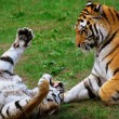 Tigers in romantic to pose , in their natural ambience — Stock Photo
