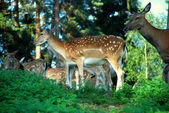 A group of young fallow deer — Stock Photo