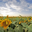 Field of sunflowers, sunset — Stock Photo