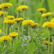 Stock Photo: Dandelions, close-up