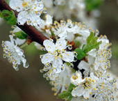 Flowering tree with drops of dew, close-up — Stock Photo