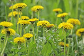 Dandelions, close-up — Stock Photo