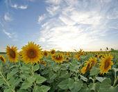 Field of sunflowers, sunset — Stock Photo