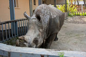 Rhinoceros on the Farm in Kyiv — Stock Photo
