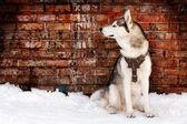 Husky en grunge — Foto de Stock