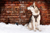Husky on grunge — Stock Photo