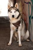 Young Husky on city — Stockfoto