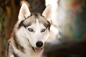 Junge husky — Stockfoto