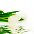 White tulips laying nearby water — Stock Photo