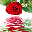 Background with red rose — Stock Photo