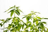 Planta de maconha — Fotografia Stock