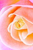 Beautiful close up red rose — Stockfoto