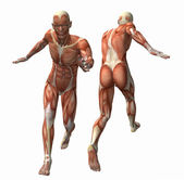 3d muscle model — Stock Photo