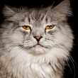 Grey fluffy cat — Stock Photo