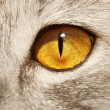 Cat yellow eye — Stockfoto