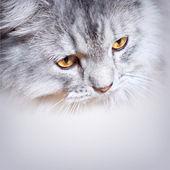 Grey fluffy cat — Stock Photo