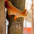Squirrel in the winter park - Stock Photo