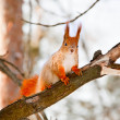 Squirrel in the winter park — Stockfoto