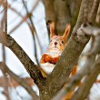 Squirrel in winter park — Stock Photo #9100374