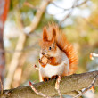 Squirrel in the winter park — Stock Photo #9100458