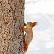 Squirrel in the winter park — Photo