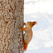 Squirrel in the winter park — ストック写真