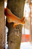 Squirrel in the winter park — Stock Photo