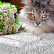 Siberian cat — Stock fotografie