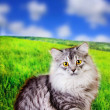 Siberian fluffy cat outdoors — Stock Photo